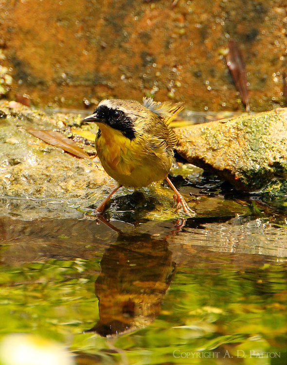 Adult male common yellowthroat bathing in pool at Paradise Pond in April