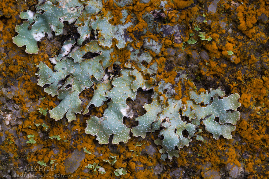 Lichen {Parmelia saxatilis} interspersed with  orange patches of a green alga {Trentepohlia sp.} that gets its unusual colouration from the haematochrome (β-carotene) it contains. Found growing on a gritstone boulder in shady woodland, Peak District National Park, Derbyshire, UK. October.