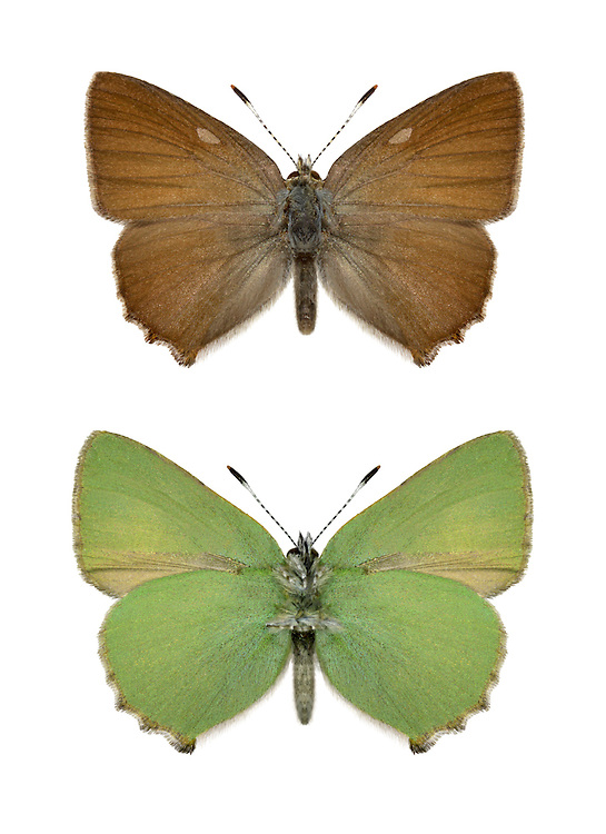 Green Hairstreak - Callophrys rubi - Upperwing (top) Underwing (bottom) Wingspan 25mm. A small butterfly whose buzzing flight is hard to follow. Adult seldom reveals brown upperwings; underwings are bright green and an extremely good match for the leaves on which it rests. Flies May–June. Larva feeds on gorses, Heather and trefoils. Locally common on heaths, cliffs and downland scrub.