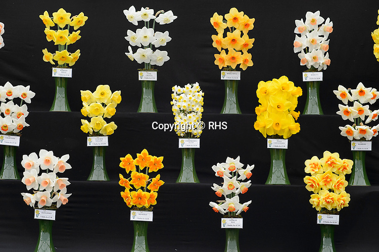 General Shot of Daffodils / R & A Scamp Quality Daffodils in the Floral Marquee at the RHS Show Cardiff 2016.
