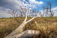 A grassfire the year before left trees dead along the Cimarron River in the Cimarron National Grassland near Elkhart Kansas.