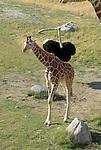 ostrich chasing reticulated giraffe calf