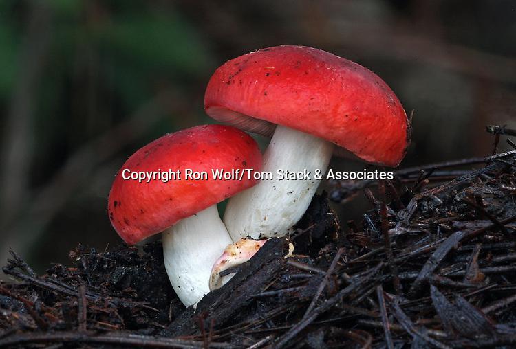 Russula silvicola. Henry Cowell Redwoods State Park. Near Felton, Santa Cruz Co., Calif.