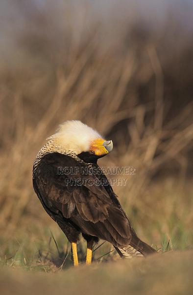 Crested Caracara, Caracara plancus, adult walking, Starr County, Rio Grande Valley, Texas, USA