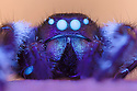 Regal Jumping Spider {Phidippus regius} male illuminated with UV light. Spiders posses fluorophores in their haemolymph, causing their eyes and joints to fluoresce under ultraviolet light. Captive, originating from North America. website