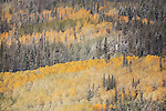 Aspens (Populus tremuloides) in the fall turning various shades of yellow, gold, orange, and red among Spruces with a light coating of snow, Guardsman Pass in the Wasatch Mountains of Utah, USA.