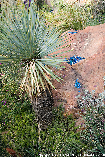 In Dan Johnson's Denver garden, tall Yucca rostrata creates an interesting contrast with other drought tolerant species and large boulders.