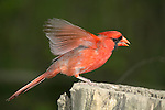 Red Bird, A Northern Cardinal Male, Taking Flight, Cardinalis cardinalis