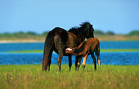 Feral horses of the Outer Banks - a foal nurses from a mare. North Carolina.