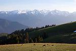 Deer grazing at Hurricane Ridge, Olympic National Park, Washington State, WA, USA