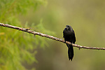 Smooth-billed Ani (Crotophaga ani), Ibera Provincial Reserve, Ibera Wetlands, Argentina