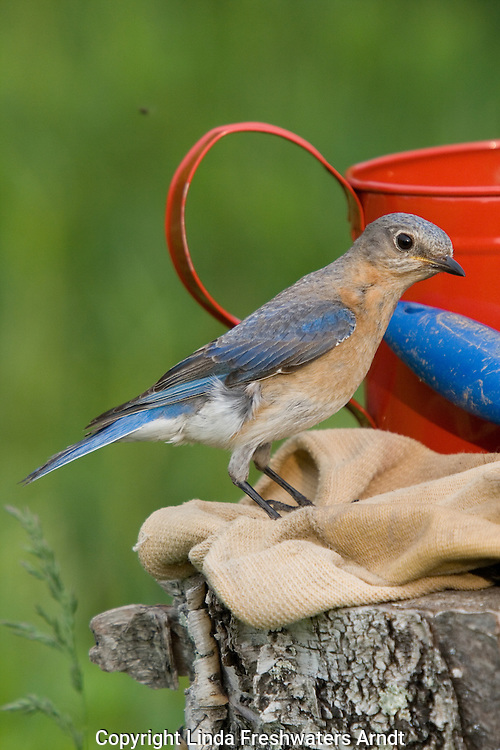 Female eastern bluebird (Sialia sialis) perched on gardening gloves