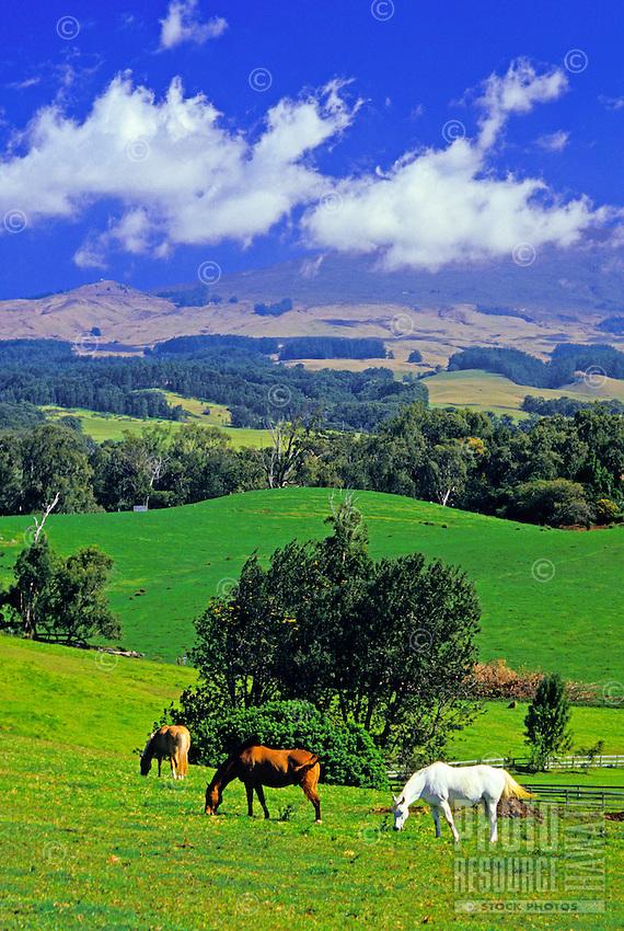 Horses graze in lush green upcountry Maui on the slopes of Haleakala.