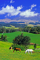 Horses graze in lush green upcountry Maui on the slopes of Haleakala.