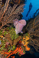 WJ76739-D. Scuba diver (model released) swims overtop a coral reef on which Deepwater Sea Fans (Iciligorgia schrammi), green coralline algae and various sponges, including Pink Vase Sponge (Niphates digitalis) in the middle of the frame. Cozumel, Mexico, Gulf of Mexico, Caribbean Sea.<br /> Photo Copyright © Brandon Cole. All rights reserved worldwide.  www.brandoncole.com