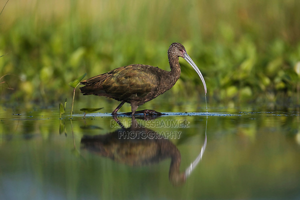 White-faced Ibis (Plegadis chihi), adult feeding, Sinton, Corpus Christi, Coastal Bend, Texas, USA
