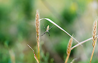 A spider on grass during opening day of the dove hunting season on Kansas State Wildlife fields near Wamego, Kansas, Sunday, September 1, 2013. Opening day is known for being a festive day of hunting with family and friends. <br /> <br /> Photo by Matt Nager