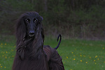 Afghan Hound<br /> <br /> <br /> Shopping cart has 3 Tabs:<br /> <br /> 1) Rights-Managed downloads for Commercial Use<br /> <br /> 2) Print sizes from wallet to 20x30<br /> <br /> 3) Merchandise items like T-shirts and refrigerator magnets