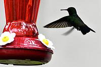 CALI - COLOMBIA - 11 - 02 - 2018: Colibri Mango (Pechinegro Anthracotorax Nigricollis), especie de ave presente en Cali en el Departamento del Valle del Cauca. / Colibri Mango (Pechinegro Anthracotorax Nigricollis), bird species present in Cali, in Valle del Cauca Department. Photo: VizzorImage / Luis Ramirez / Staff.