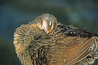 Clapper Rail, preening.  Fortesque Beach, New Jersey