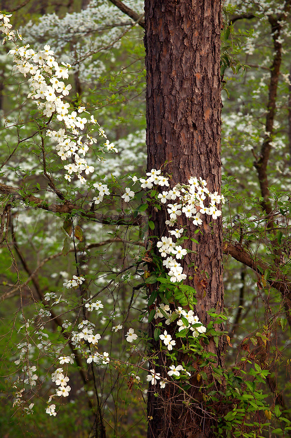 Flowering dogwood blossoms, Holly Springs National Forest, Mississippi