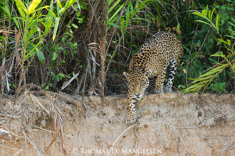 A jaguar climbs down the bank to the Picuiri River in the Pantanal of Brazil.