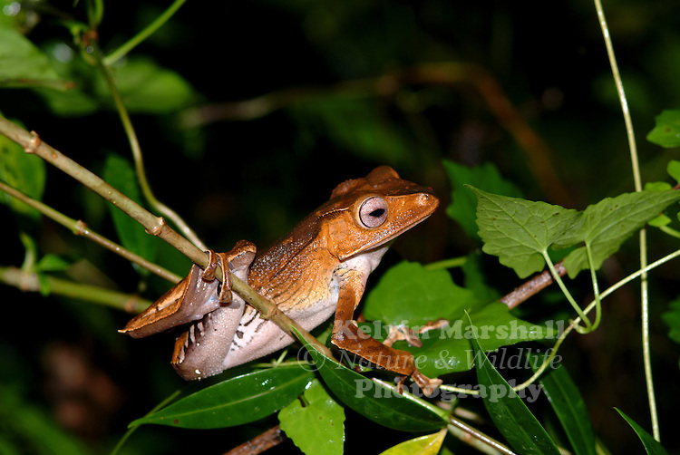 A File-eared Tree Frog (Polypedates otilophus) also known as the Borneo Eared Frog, this large tree frog inhabits lowland rainforest up to elevations of around 400 metres. It is most commonly found grouped around suitable breeding ponds, clinging to nearby vegetation a few metres from the ground.