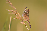 Coastal Plain Swamp Sparrow; Melospiza georgiana nigrescens; male singing in high salt marsh; Delaware, Kent County