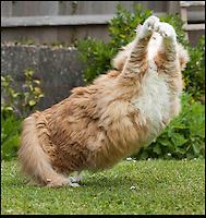 BNPS.co.uk (01202 558833)<br /> Pic: PeterWillows/BNPS<br /> <br /> Exercise regime...<br /> <br /> Ulric the Viking...Norwegian Forest cat has done a little too much pillaging.<br /> <br /> Jan Mitchell from Dorchester in Dorset was shocked to discover she owns Britains fattest cat. Ulric her prized Norwegian Forest cat topped the scales at a whopping 2 stone 2lbs - over double the weight he should be.<br /> <br /> Embarrased Jan thinks porker Ulric's penchant for pillaging from his sister's bowl has led to him ballooning in size - but she has now put him on a strict excercise routine to trim him down to size.