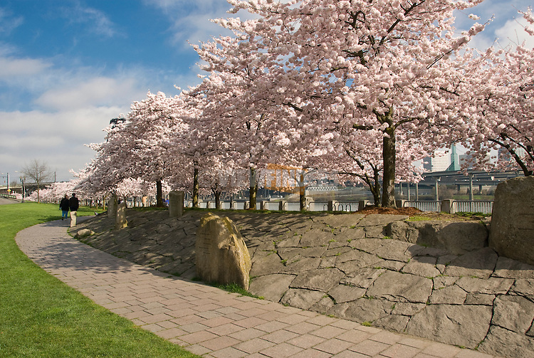 Cherry blossoms in springtime at the Japanese American Historical Plaza in Tom McCall Waterfront Park, Portland, Oregon