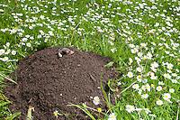 Maulwurf, Europäischer Maulwurf, Maulwurfshügel, Maulwurfhügel im Garten, Talpa europaea, European mole, common mole, northern mole, mole, molehill