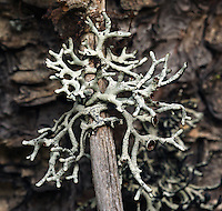 Mottled Tube Lichen (Hypogymnia inactiva) a/k/a Inactive Tube Lichen, Forking Bone Lichen. Butterfly Valley Botanical Area. Plumas National Forest. Near Quincy, Plumas Co., Calif.