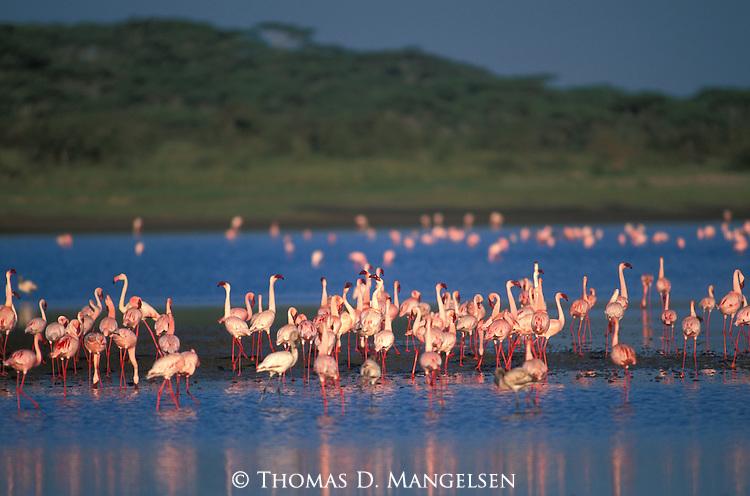 Lesser Flamingos at Lake Ndutu in Kenya.