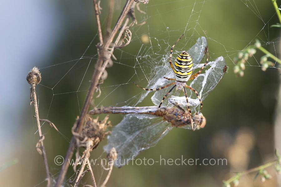 Wespenspinne, Zebraspinne, Argiope bruennichi, Spinne in ihrem Netz mit einer Libelle als Beute, black-and-yellow argiope, black-and-yellow garden spider