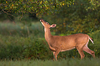 White-tailed doe reaching up to work a licking limb.