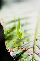 Grasshopper in the jungle at Mashpi Cloud Forest in the Choco Rainforest, Ecuador, South America