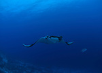 Manta Ray and Giant Travelly at reefs end molokini Maui Hawaii.