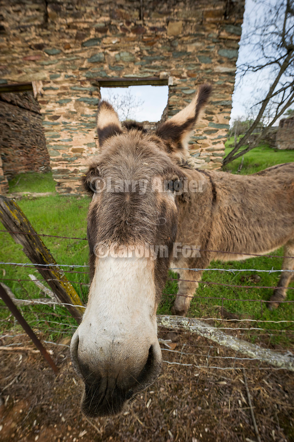 A currious donkey (jackass) in the Gold-Rush era ruins in the Motherlode village of Campo Seco, Calif.