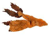 Botrylloides leachi - Ascidian Sea Squirt