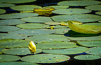Lily pads on lake Leatherwood just outside of Eureka Springs Arkansas.