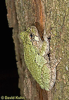 "0916-07vv  Gray Tree Frog - Hyla versicolor ""Virginia"" © David Kuhn/Dwight Kuhn Photography"