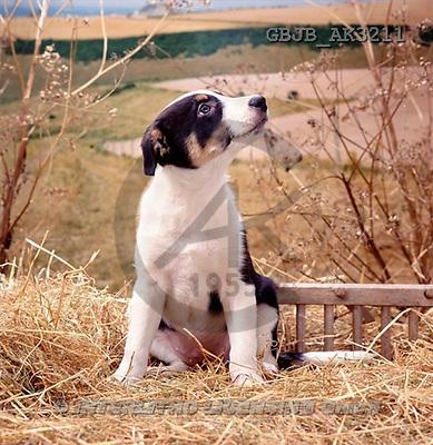 Kim, ANIMALS, dogs, photos(GBJBAK3211,#A#) Hunde, perros
