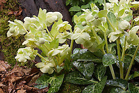 Hellebore lividus 'White Marble' hellebore species in bloom