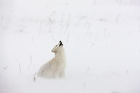 Arctic fox in a ground blizzard on Alaska's arctic north slope. The fox is looking up because a flock of 8 ravens were trying to take a piece of meat that it was desperately trying to burry.
