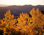 Autumn aspens, North Fork Provo River Canyon, Wasatch Mountains