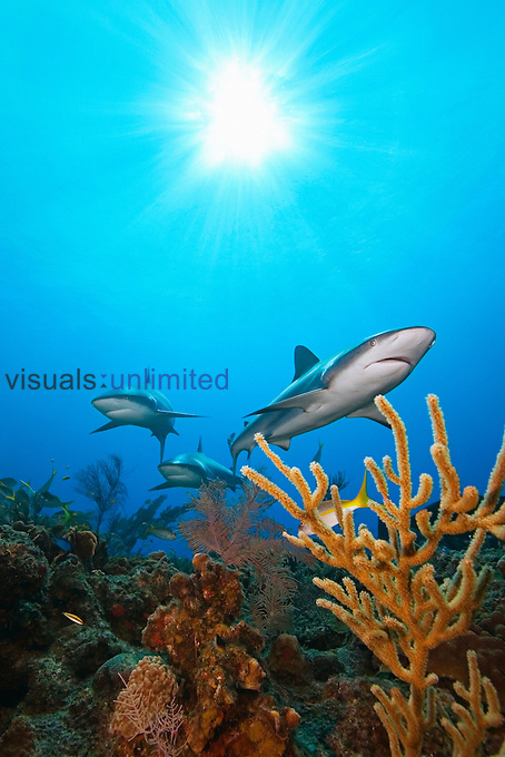 Caribbean Reef Sharks (Carcharhinus perezi) swimming over a coral reef, West End, Grand Bahamas, Atlantic Ocean. Note the sunshine into the clear, shallow waters.