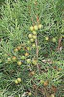 Phoenician Juniper Juniperus phoenicia (Cupressaceae) HEIGHT to 8m. Small evergreen tree, or a spreading shrub. LEAVES Scaly twigs bear 2 types of leaves. Young leaves are up to 1.5cm long and 1mm wide, sharply pointed, showing pale bands on both surfaces; in bunches of 3 spreading at right-angles. Mature leaves are only 1mm long, resembling tiny green scales clasping the twig. REPRODUCTIVE PARTS Male cones are inconspicuous and borne at ends of shoots, female cones are up to 1.4cm long, rounded and ripening from black through yellowish-green to a deep red in second year. STATUS AND DISTRIBUTION Native of Mediterranean coasts and Atlantic shores of Portugal.