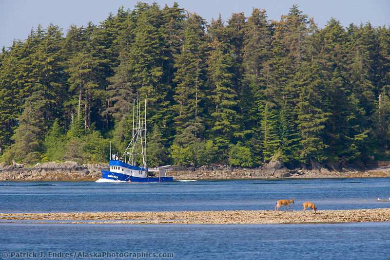 Commercial fishing boat passes Sitka Black-tailed deer that feed along the shore in Sitka Sound off Baranof Island in Alaska's southeast panhandle.