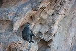 Namibia;  Namib Desert, Skeleton Coast, Hoanib River, dominant male chacma baboon (Papio ursinus) in rocky cliff