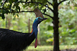 Cassowary walking in a grassy fruit orchard bordering the Daintree forest. Southern cassowary (Casuarius casuarius) also known as double-wattled cassowary, Australian cassowary or two-wattled cassowary.